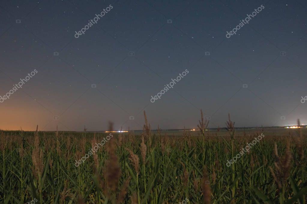 Corn in a field under a starry night sky