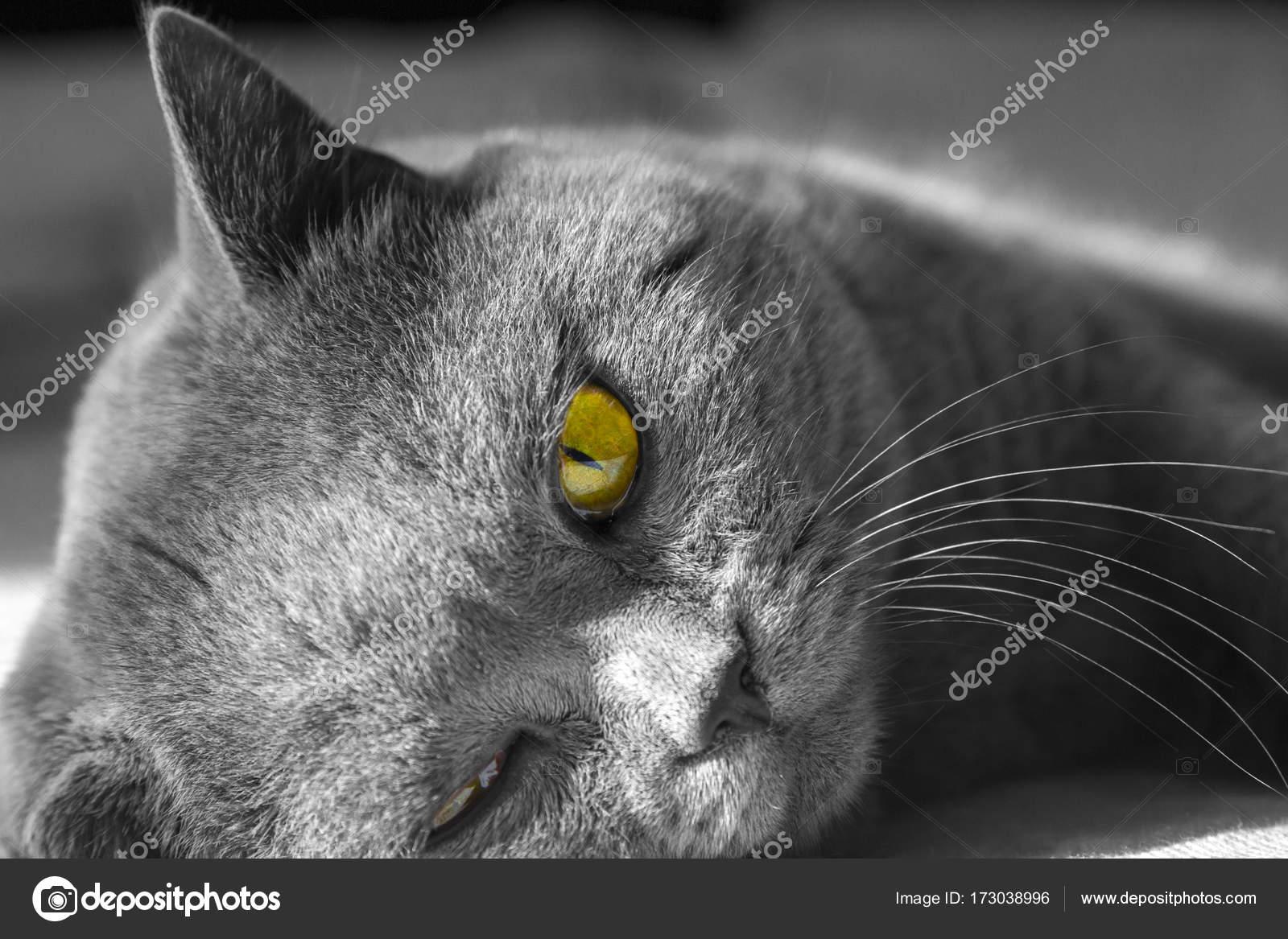 Zbliżenie Szary Kot Brytyjski Krótkowłosy Z żółte Oczy Zdjęcie