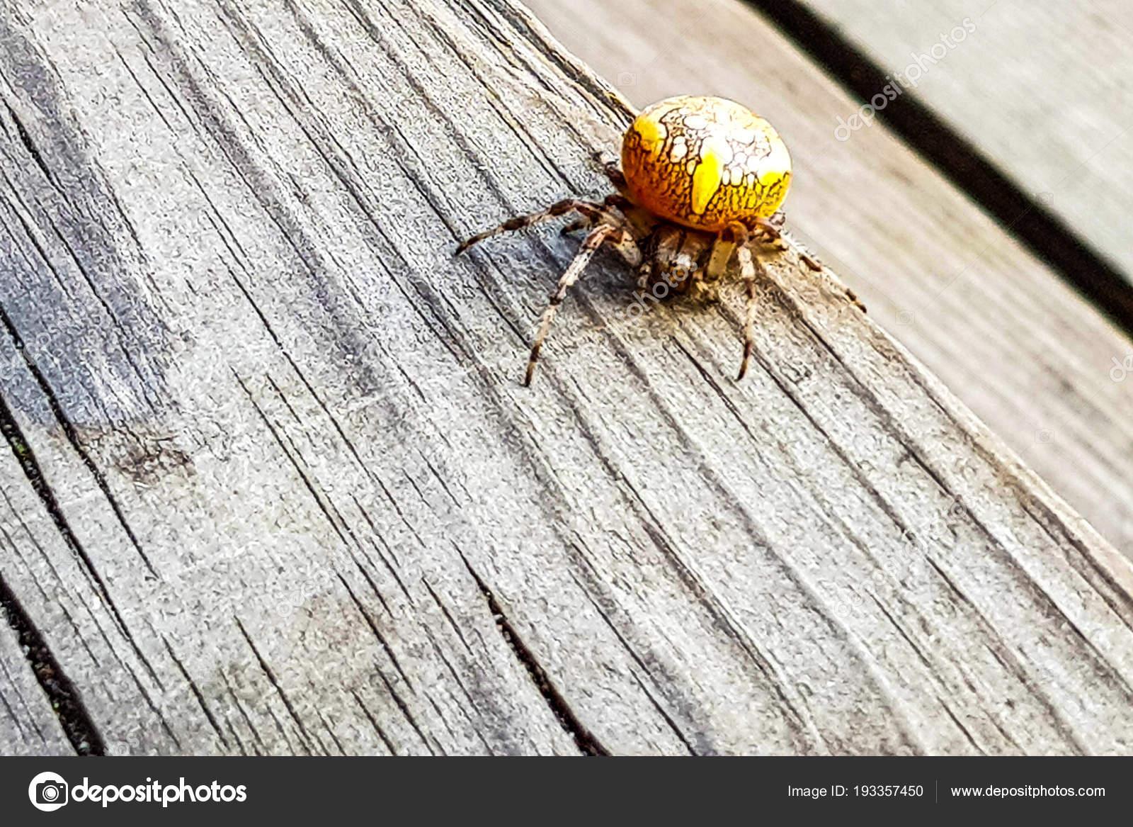 Mármol Spider Cruzado Las Arañas Orbe Que Teje Araneus Tablero ...
