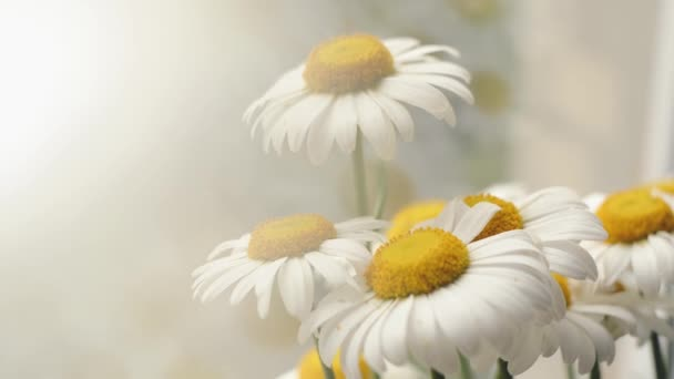Beautiful daisies on the windowsill. Camomiles close-up. Flower bouquet in natural lighting.