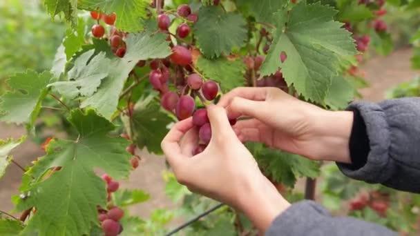 Žena ukazuje hromadu červených hroznů sklizených sama v červených hroznů vinice. Organické potraviny a dobré víno ručně. Ženské ruce výdeje banda šťavnaté hrozny na vinici během sklizně