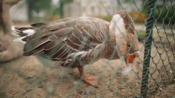 Vicces hazai goosee az udvaron látszó-nél fényképezőgép. Sekély mélység-ból mező.
