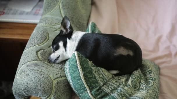 Čivava nebo toy teriér pes leží na gauči. Boční pohled.