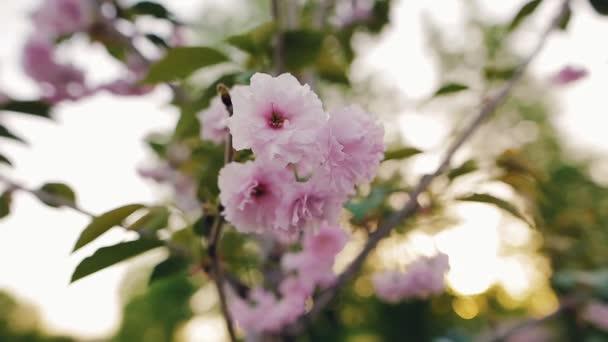 Růžové květy Třešňové květy na zahradě na jaře. Closeup, malá hloubka ostrosti