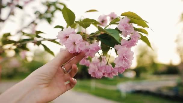 Ženská ruka se dotýká kvetoucí sakura květiny nebo cherry v parku