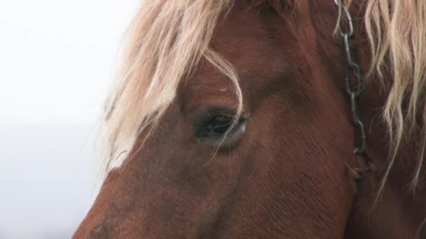 Nahaufnahme eines Pferdeauges mit herumfliegenden Fliegen. Hausschimmel auf einem Feld. Das tätschelnde Pferd. 4k