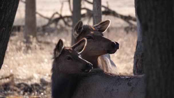 Zblízka pohled dospělé matky a mladé elk jelen s hnědou srst Busse lesní rezervaci elk pastvina s vysoká žlutá tráva a stromy v pozadí v Elk Grove Village ve státě Illinois