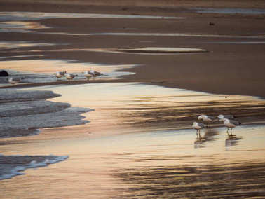 Animal or nature photograph of a group of seagulls standing on the wet beach sand at sunset in Chicago with colorful reflections of the sky as the waves roll in.