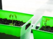Photograph of bright neon green indoor window sill planter boxes with green bean and pea vegetable seedlings sprouting up from the dirt with bright light pouring in from the adjacent windows.