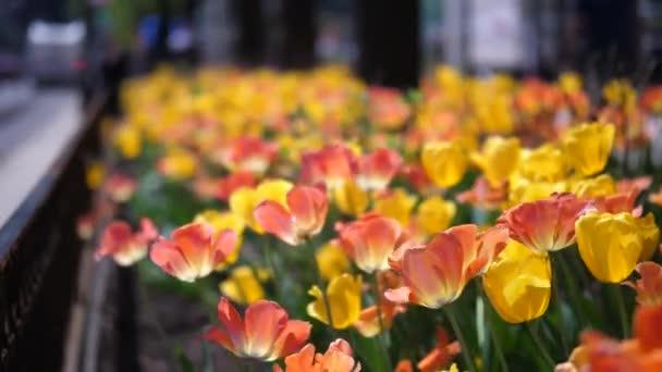 Nádherný oranžový a žlutý Tulipán květy zasadil na úpatí stromů podél Michigan Avenue v Chicagu v plném květu s rozmazané pouliční scéna za