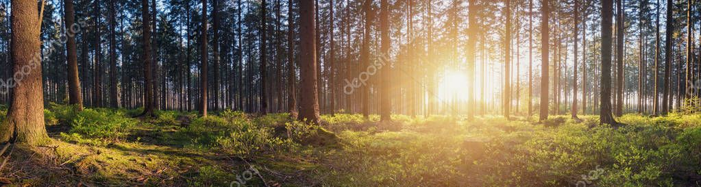 Panorama of a scenic forest at sunrise