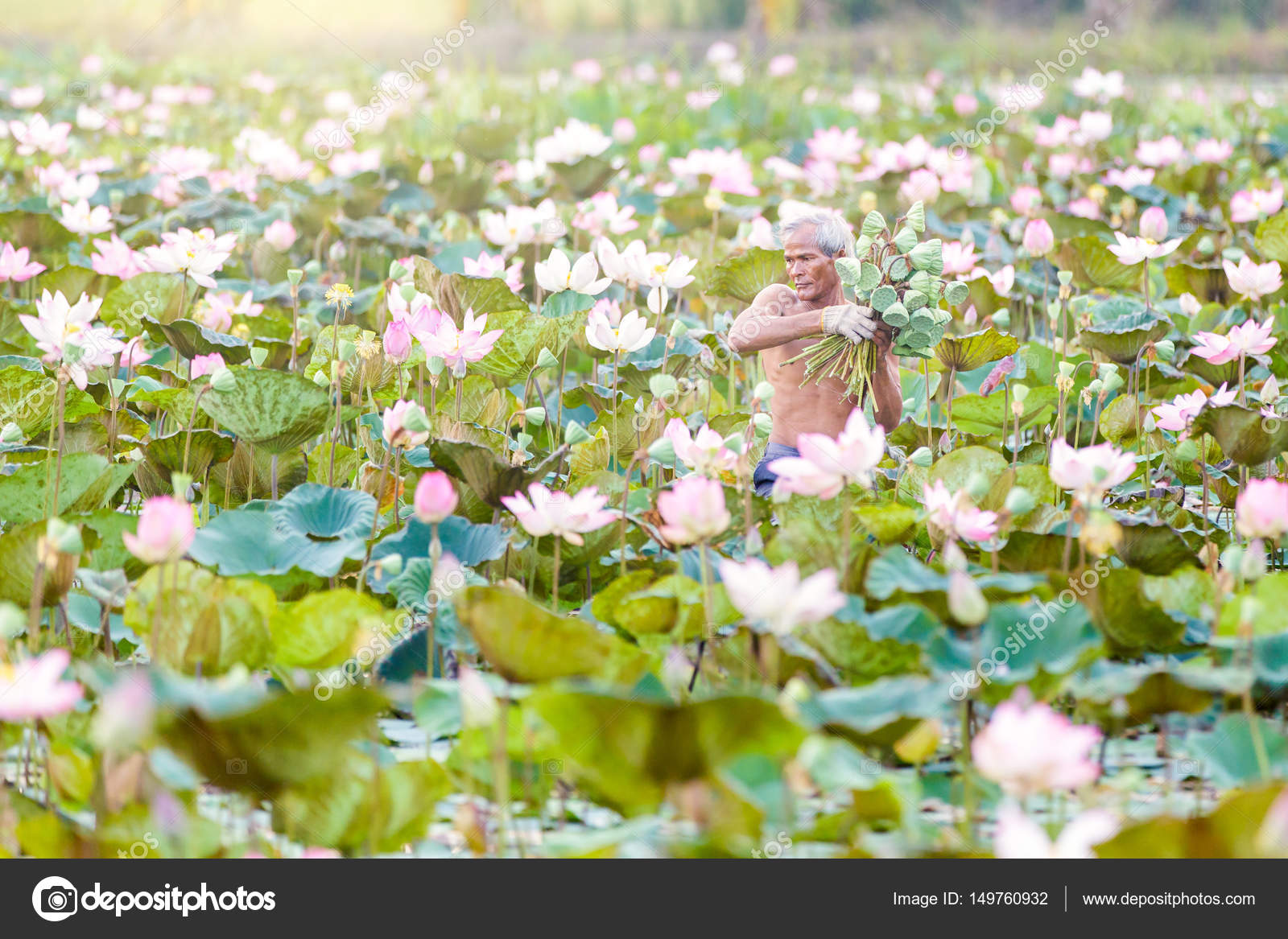 Old Man Thai Farmer Grow Lotus In The Season They Were Soaked With