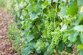 Révy zelené hroznové šampaňským vinicemi na montagne de reims, Francie