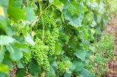 Detailní záběr mladých zelených hroznů v šampaňským vinicemi na montagne de reims, Francie
