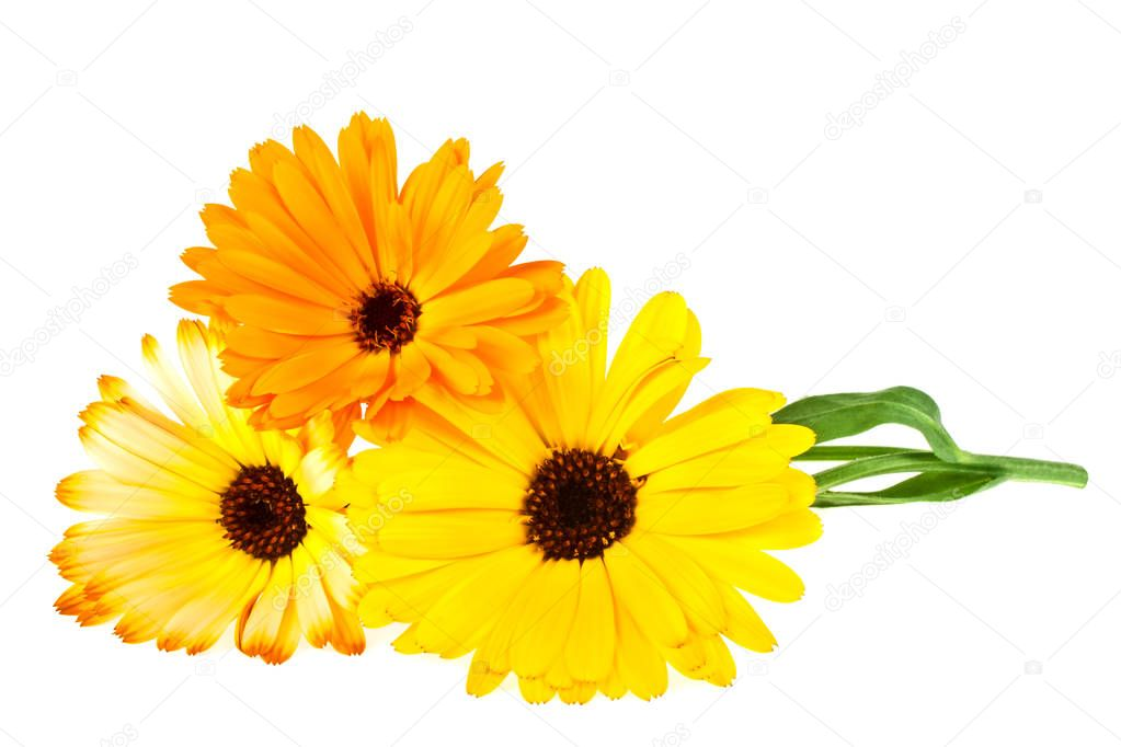 Calendula. Marigold flower with leaves isolated on a white backg