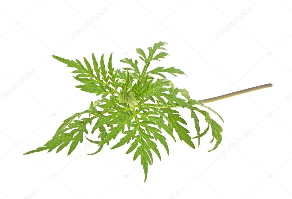 Ragweed plant in allergy season isolated on white background, co