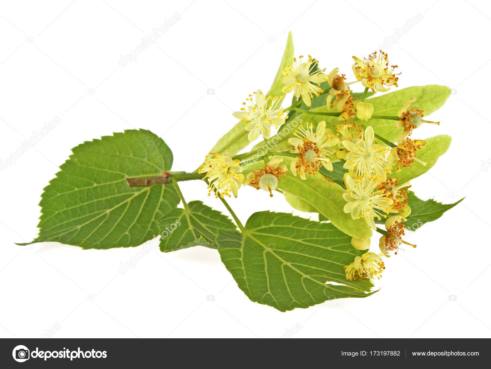 Linden flowers with leaves on a white background — Stock Photo