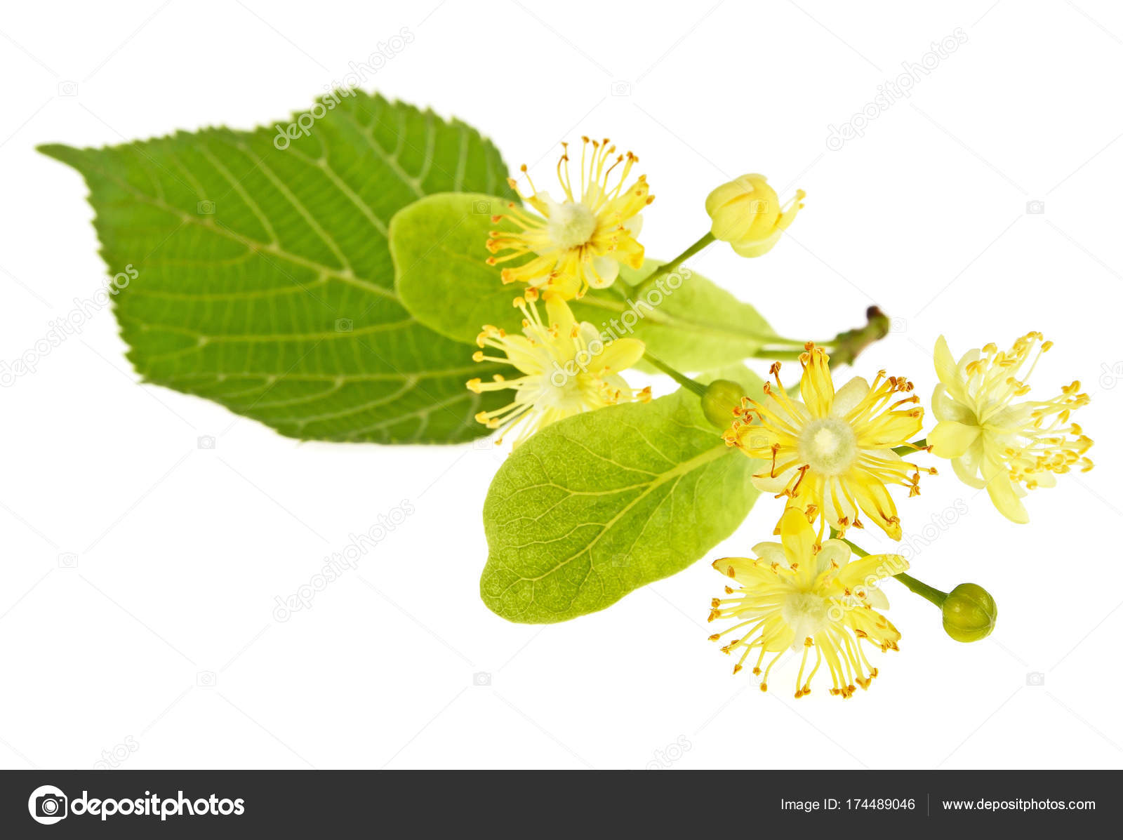 Linden flowers on a white background — Stock Photo