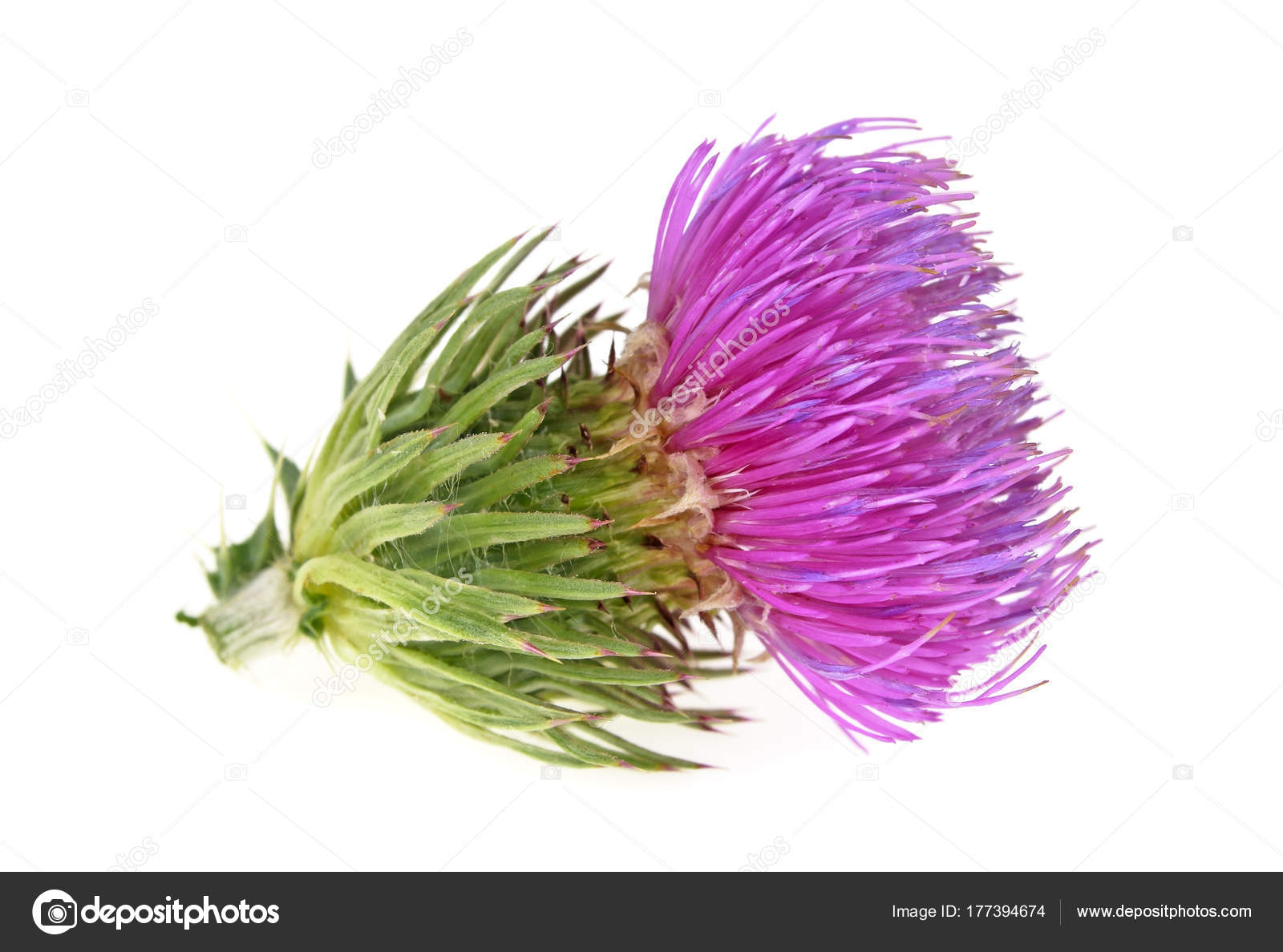Milk Thistle Flower Isolated On A White Background Stock Photo