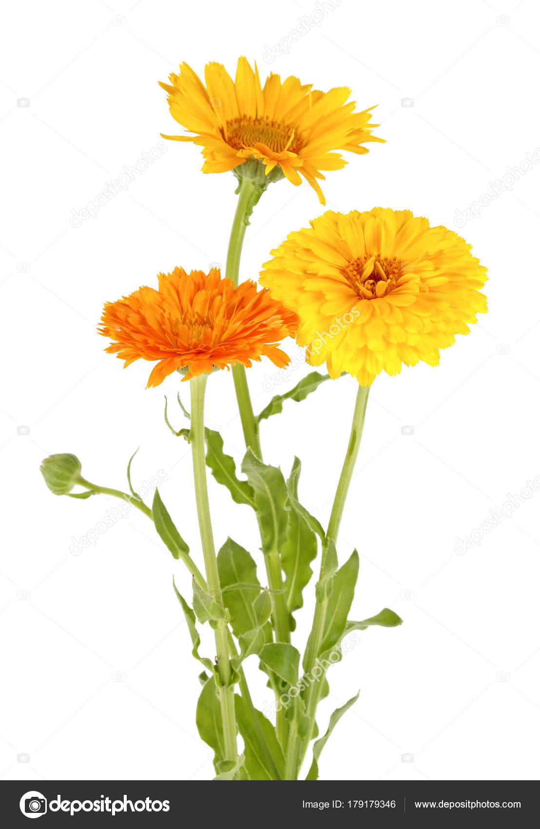 Bouquet of marigold flowers on a white background stock photo bouquet of marigold flowers on a white background photo by domnitskyyar mightylinksfo
