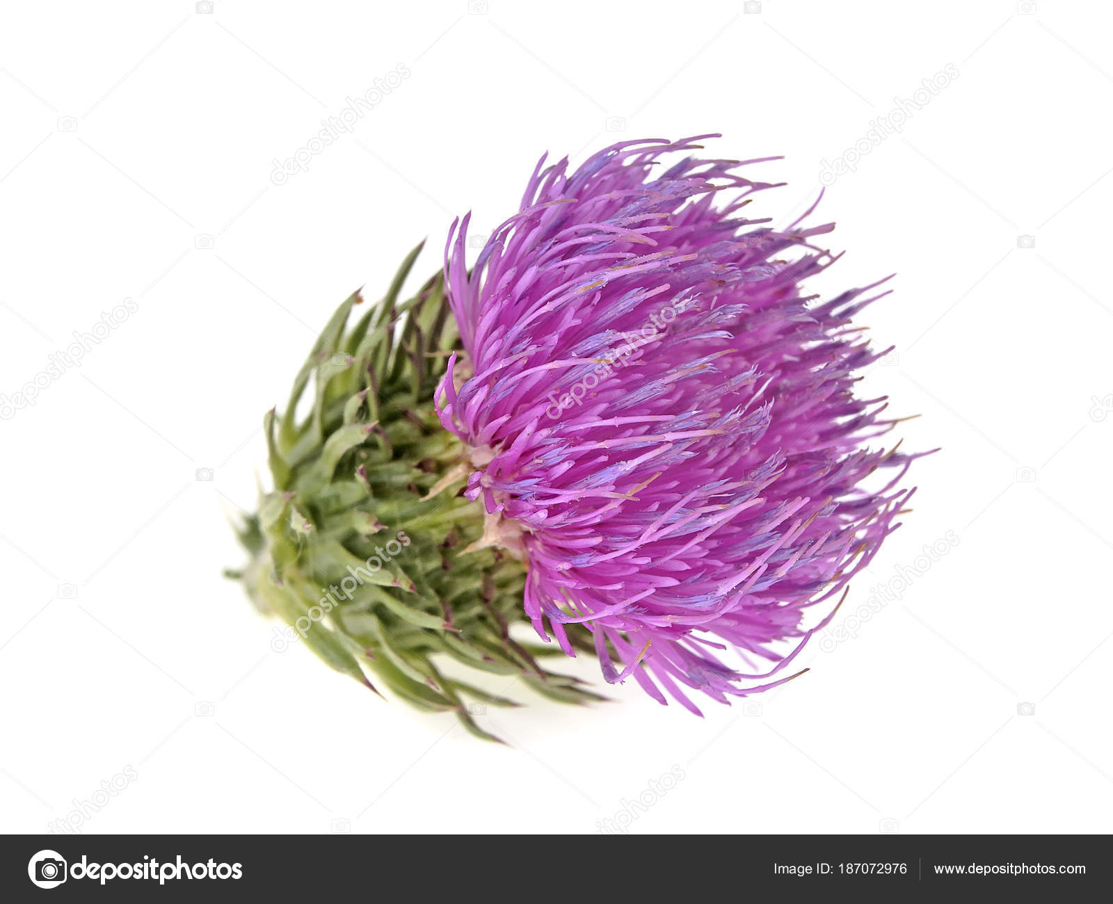 Thistle Flower Isolated On White Background Stock Photo
