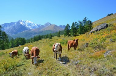 Cows grazing in the Altai mountains, Russia