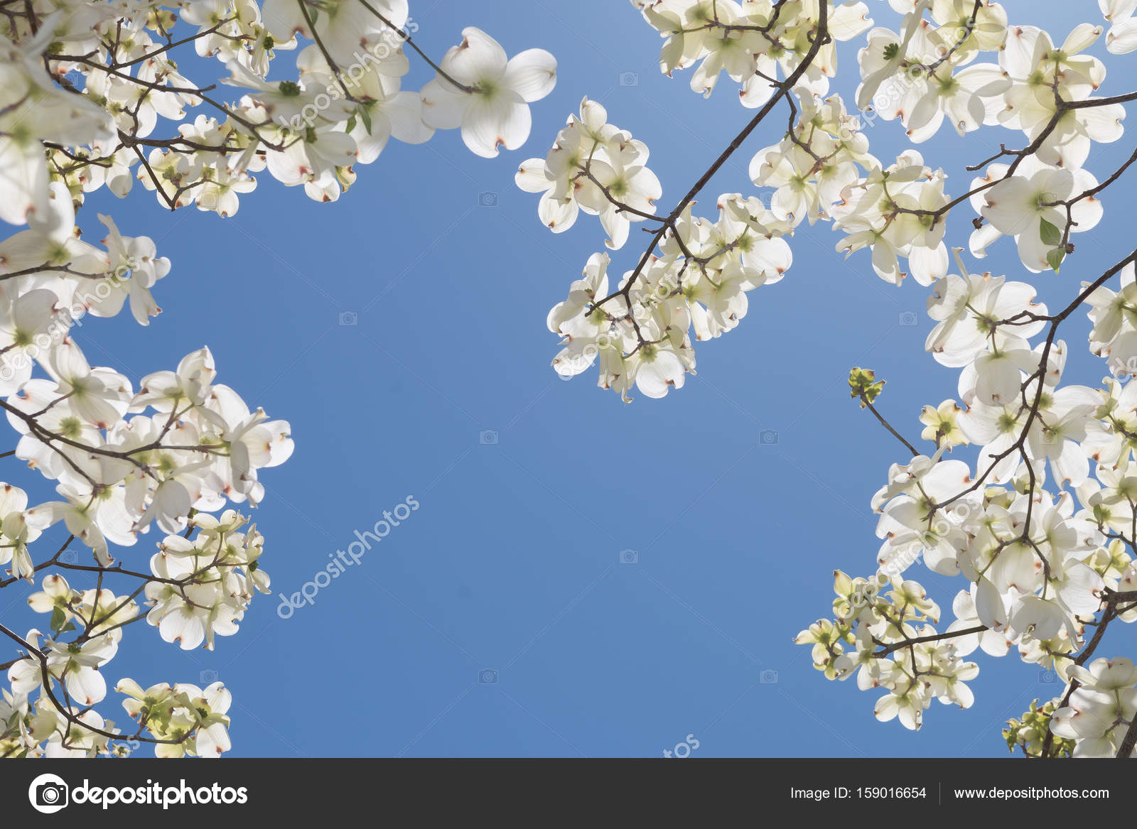Blossoming Dogwood Tree In Spring Stock Photo Accupicsllcgmail