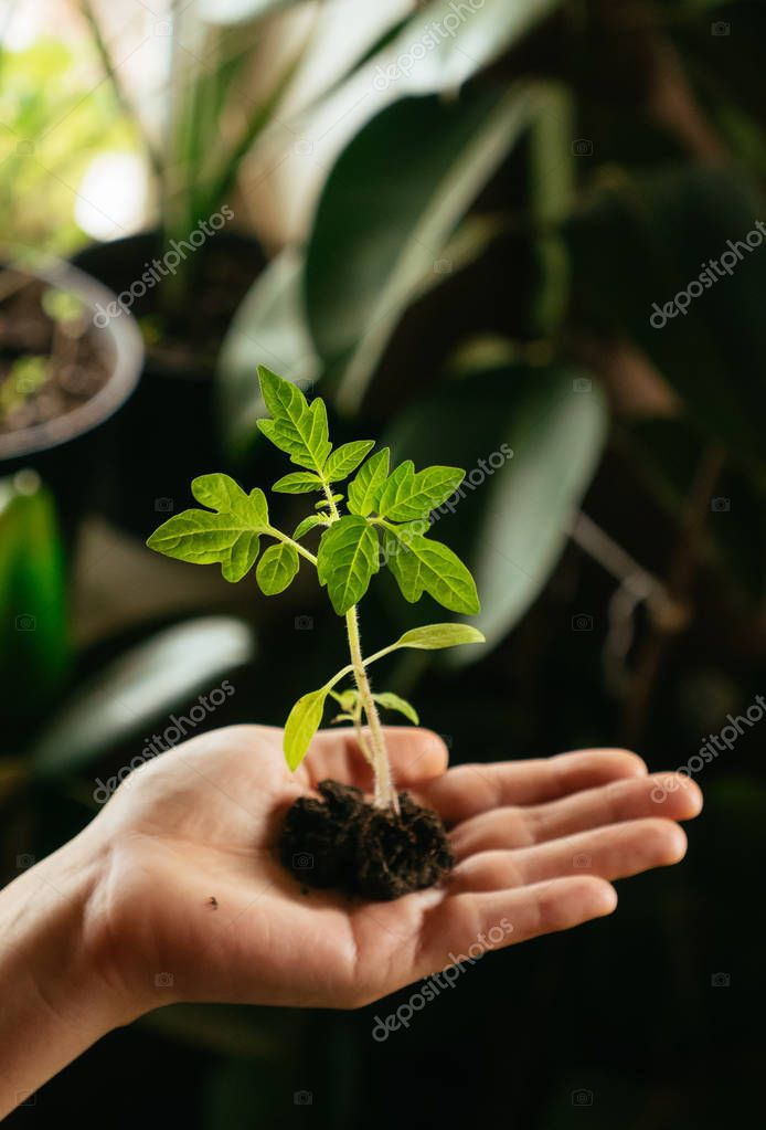 Tomato seedling in hand.Growing Tomato Seedlings in a Greenhouse.