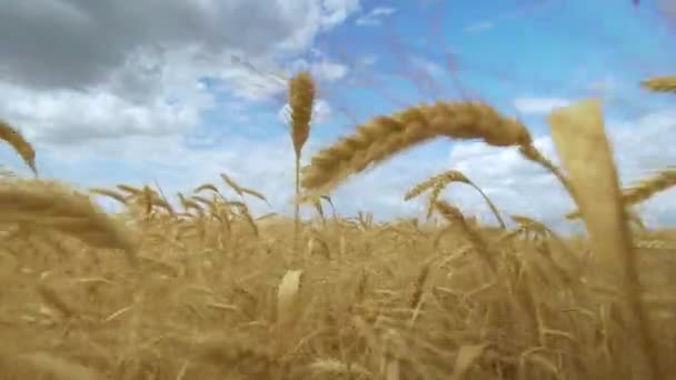 Wheat field. Field of golden wheat swaying. Nature landscape. Harvest concept.