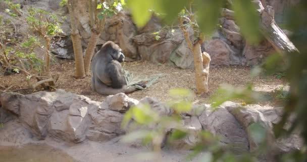 Gorila žvýká stonky rostliny a rozhlíží se kolem..
