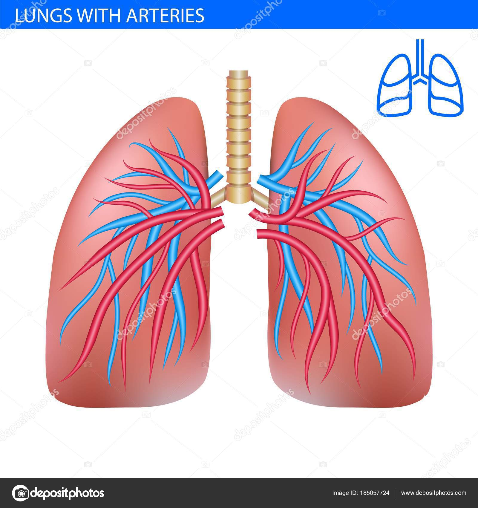 Human Lungs Anatomy Stock Vector Wildrabbit 185057724