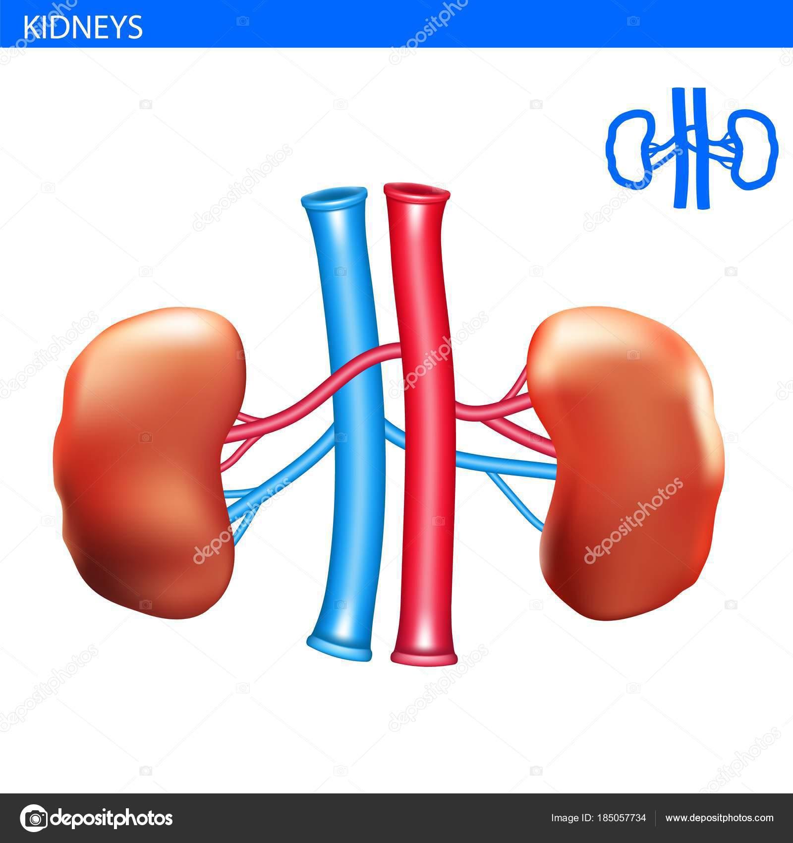 Anatomie der menschlichen Nieren — Stockvektor © Wildrabbit #185057734