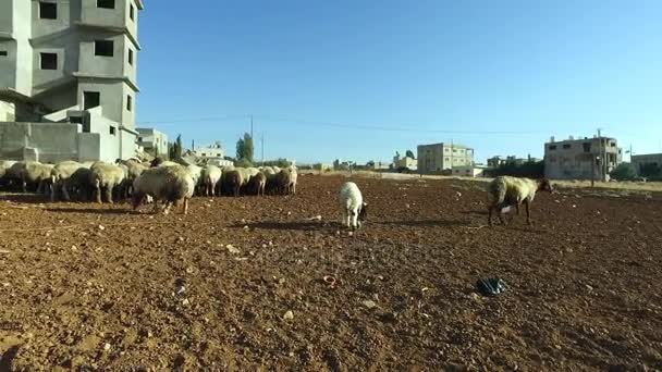 A herd of sheep and sheep in the courtyard of the house.