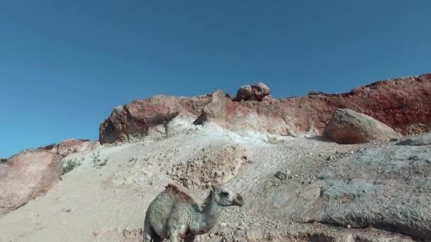 White little hill camel