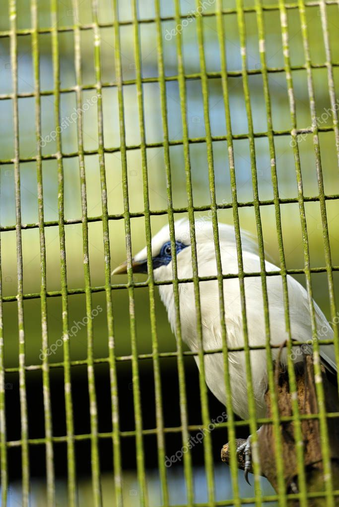 The Bali Myna in the cage, not focus on the bird, selective focus.