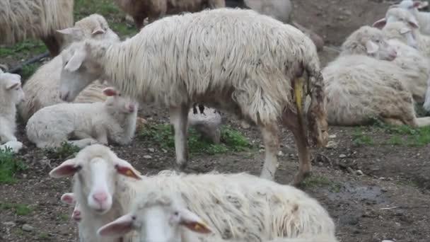 stehendes Schaf, das kurz vor der Geburt steht, bereits mit undichter Plazenta