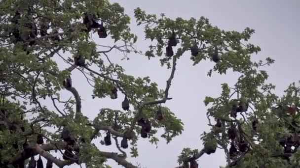 Endemische Pemba Island Red Flying Foxes auf Bäumen vor bewölktem Himmel. Sansibar, Tansania. Afrika.