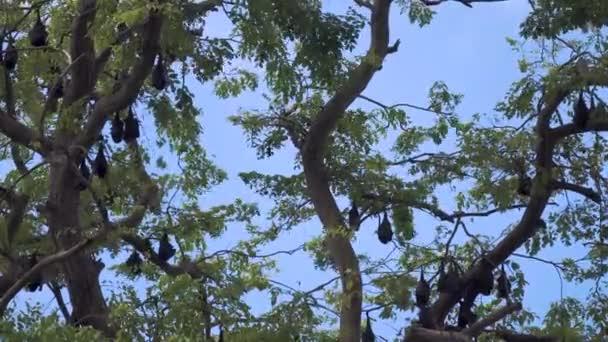 Endemische Pemba Island Red Flying Foxes auf Bäumen vor blauem Himmel. Sansibar, Tansania. Afrika.