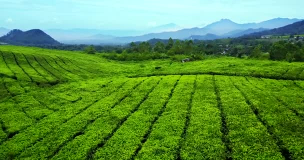 Top view of tea plantation