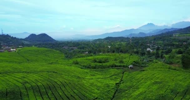 Aerial view of fresh tea plantation