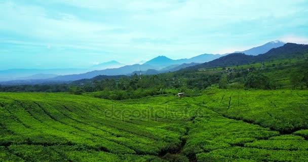 Beautiful view of fresh tea plantation