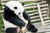 Giant panda eating bamboo at zoo