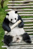Cute giant panda with bamboo stick in a zoo