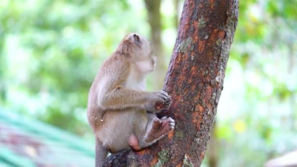 Divoká opice sedí na stromě a něco jí. Snímek v rozlišení 4k