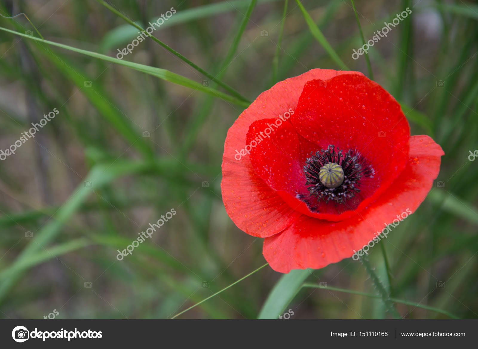 Single Wild Poppy Flower On A Green Blur Background Stock Photo