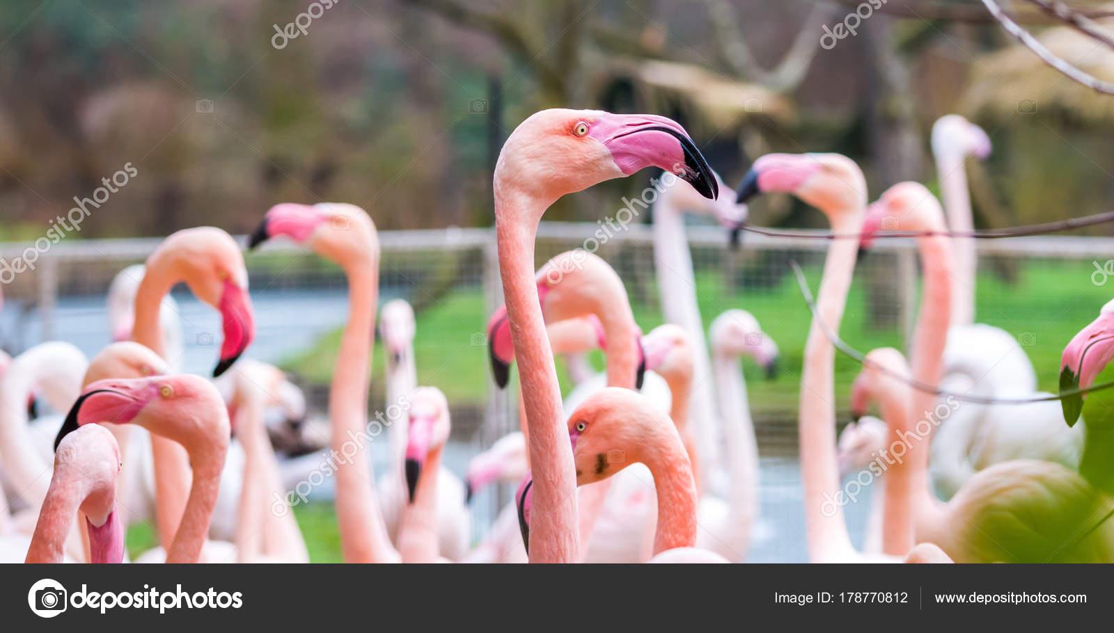 detalhe da cabeça de pássaro flamingo phoenicopterus cor de rosa