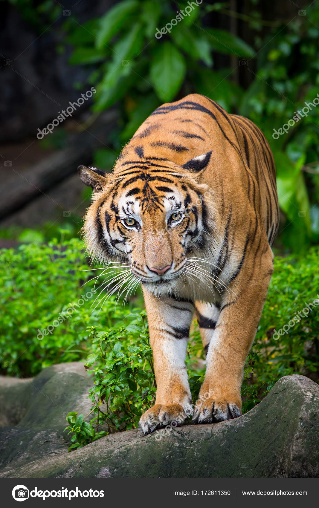 bengal tiger standing with bamboo bushes in background — stock photo