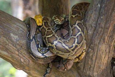 Royal python hanging on tree
