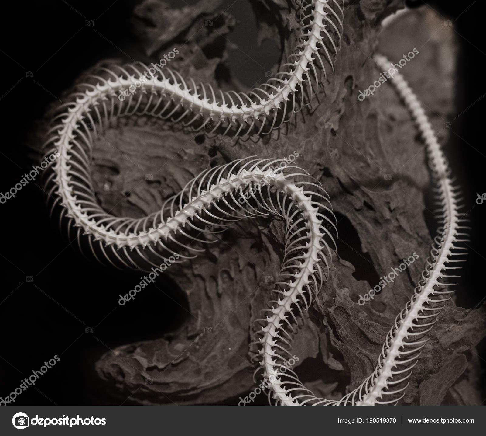 Esqueleto de una serpiente en un fondo negro — Fotos de Stock ...