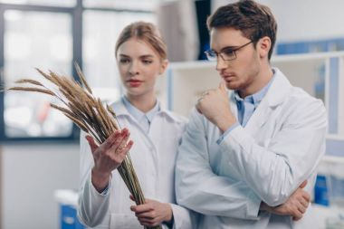 biologists with wheat ears in laboratory